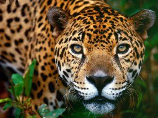 Pantanal - Jaguarens rike @ Matsalen på Von Reisers skola